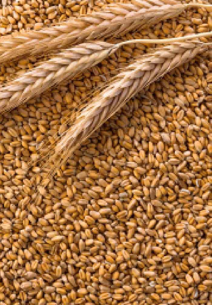 Identification of Wheat Morphotype and Variety Based on XRay
