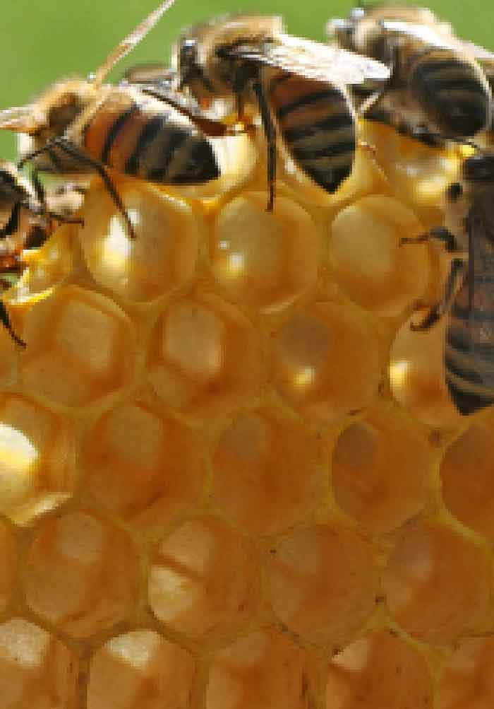 Improvement and Selection of Honeybees Assisted by Molecular