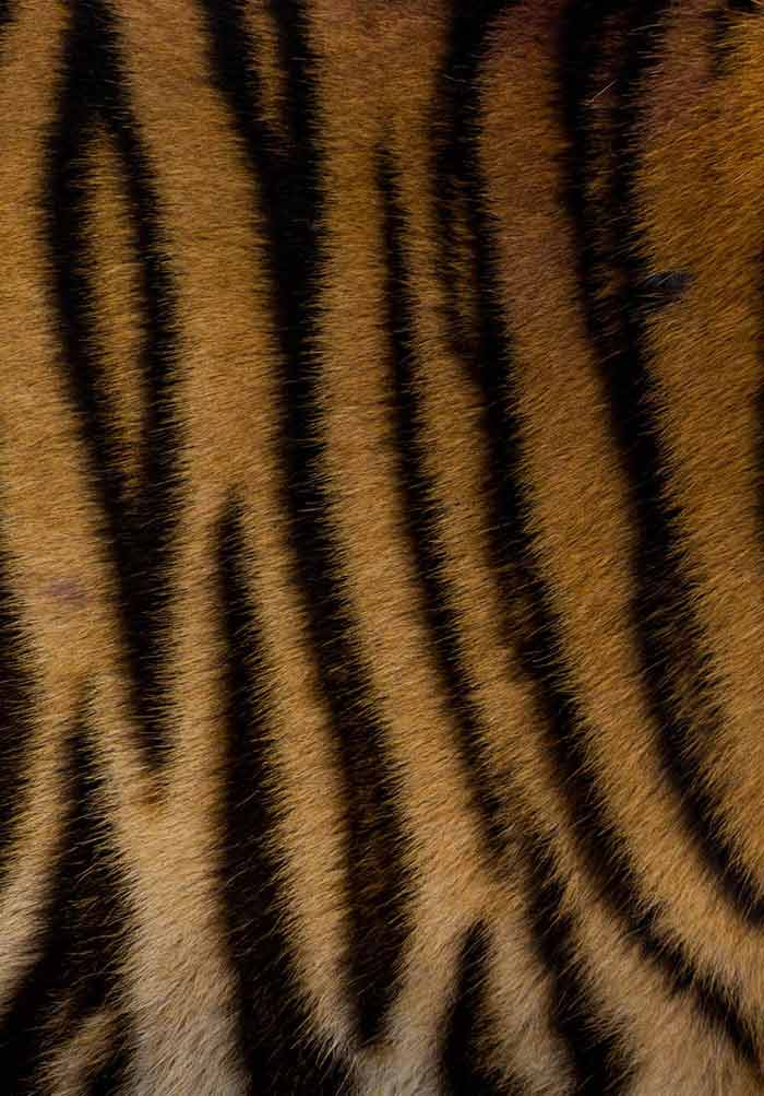Conservation Physiology of Tigers in Zoos: Integrating