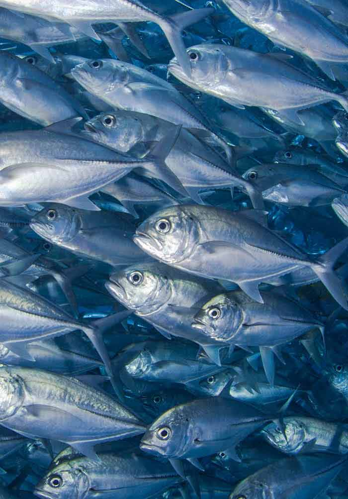 Antibiotics in Chilean Aquaculture: A Review | IntechOpen