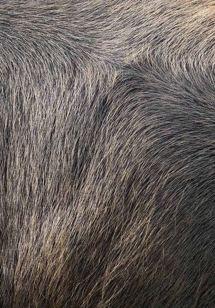 Emerging Infectious Diseases in Water Buffalo: An Economic and
