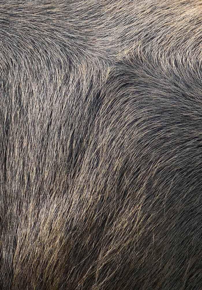 Emerging Infectious Diseases in Water Buffalo: An Economic